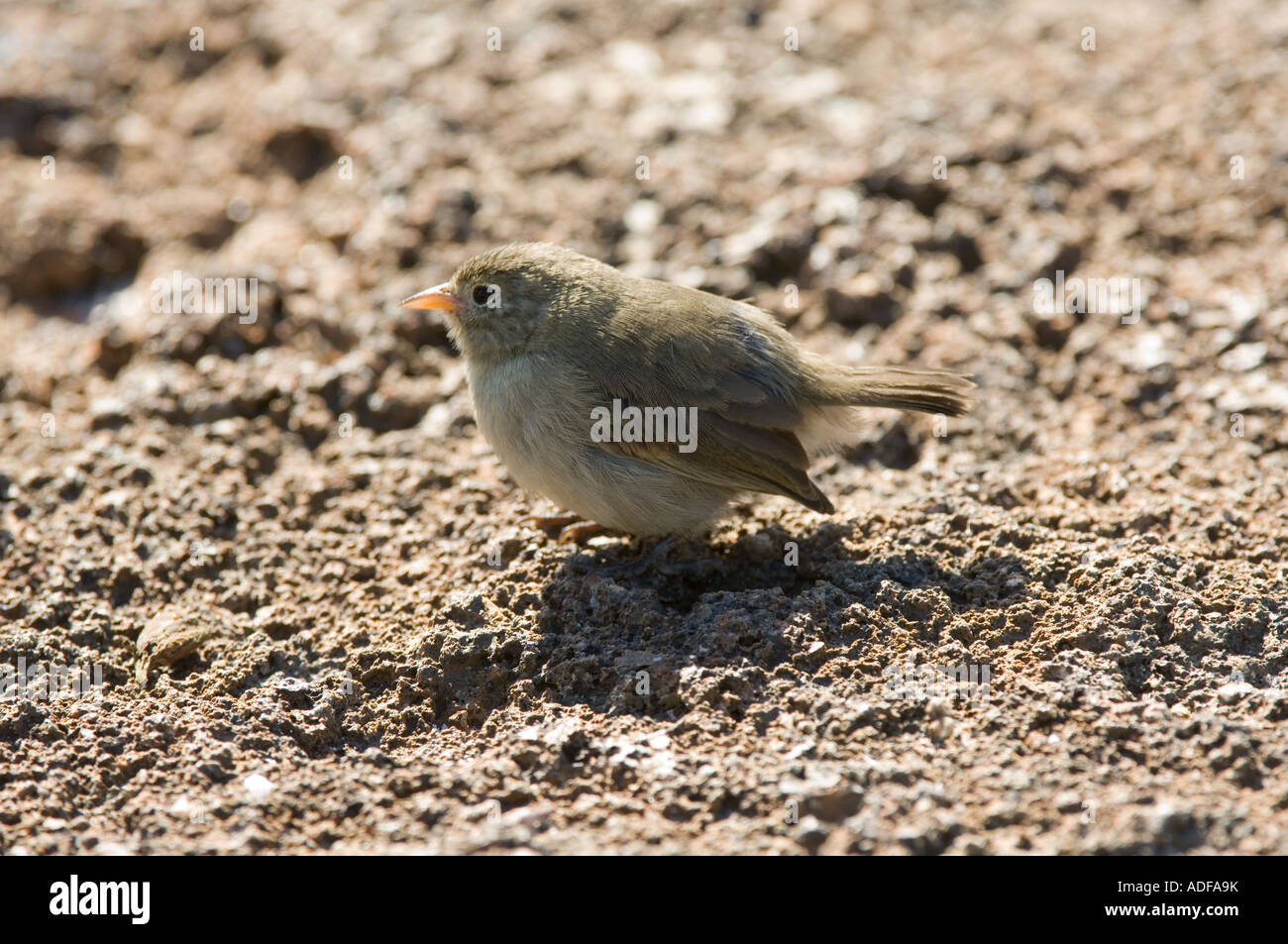 Warbler Finch (Certhidea fusca) Perched on ground Darwin Bay Genovesa Galapagos Ecuador - Stock Image