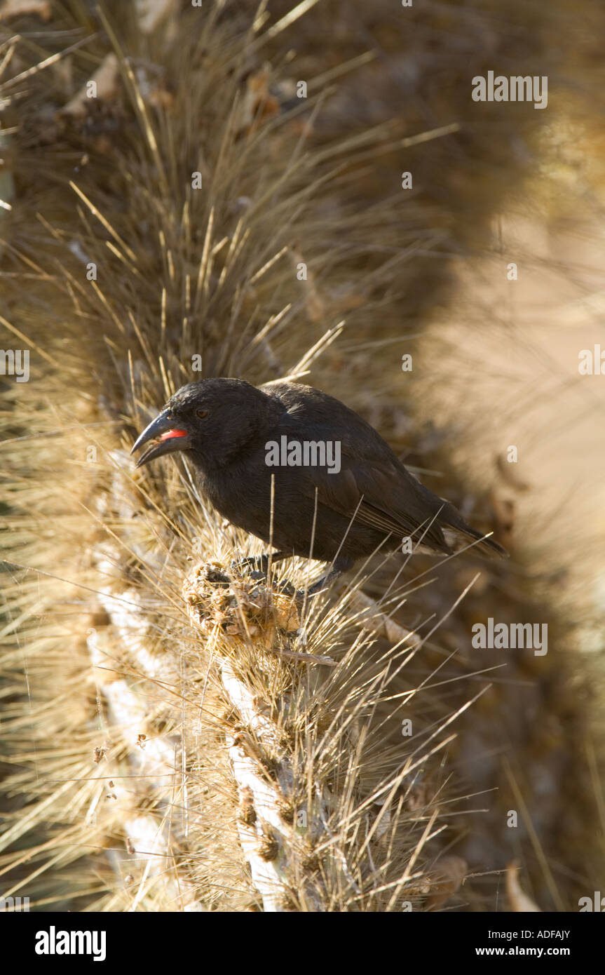 Common Cactus-finch (Geospiza scandens) adult male feeding on opuntia spp. cactus seeds Dragon Hill Santa Cruz Galapagos - Stock Image