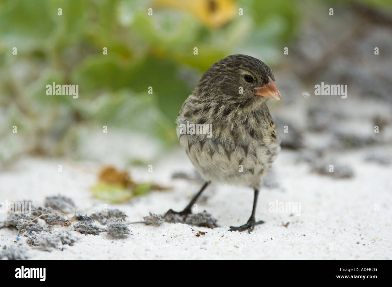 Immature Small-billed Ground Finch (Geospiza fuliginosa) searching for food in sand, Gardner Bay (Bahia) Espanola - Stock Image