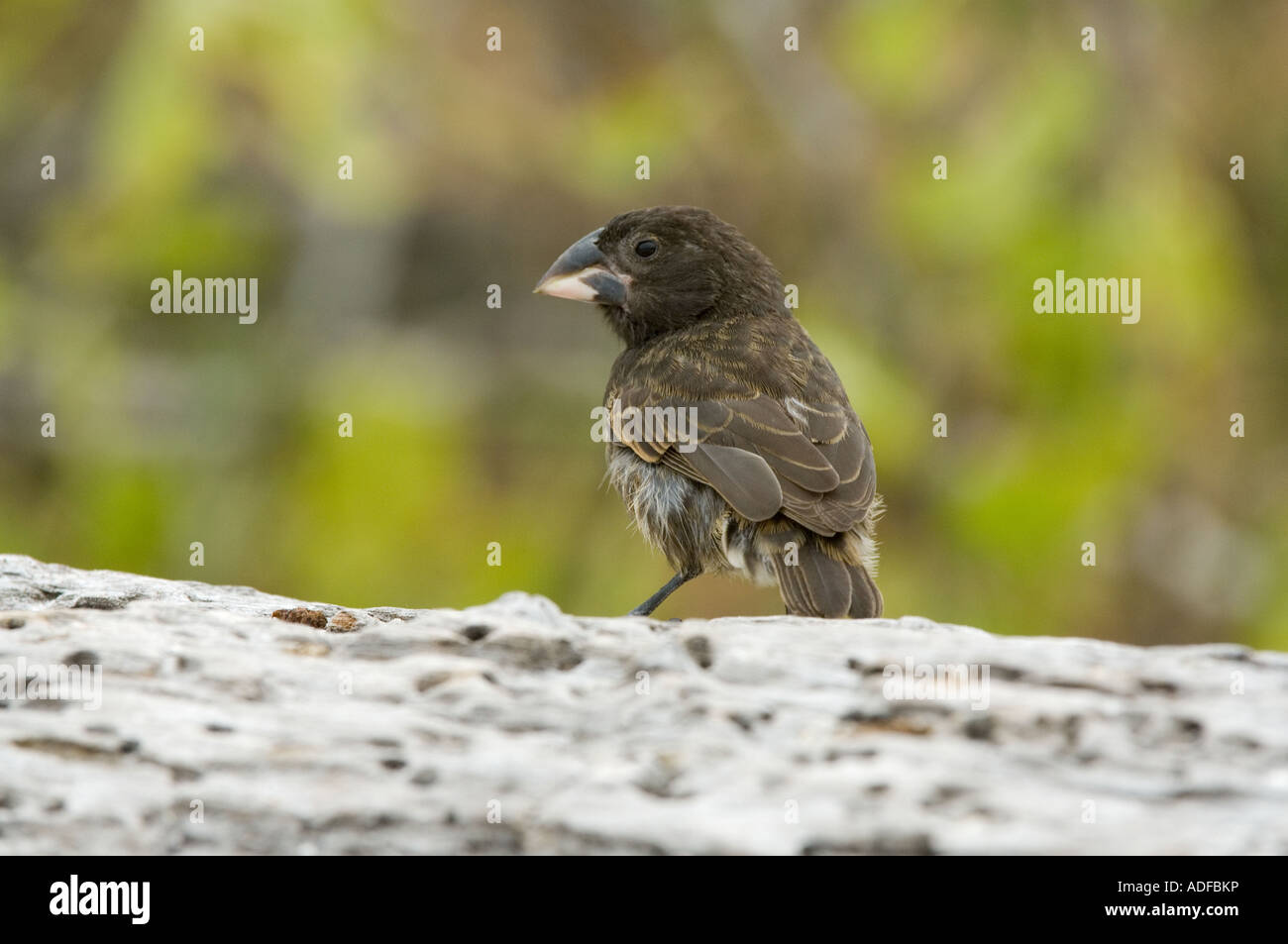 Large Cactus Finch (Geospiza conirostris) perched on the log, Gardner Bay (Bahia) Espanola Hood Island Galapagos - Stock Image
