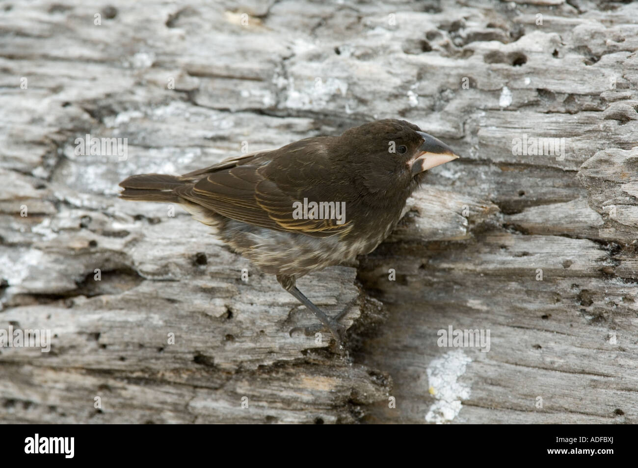 Large Cactus Finch (Geospiza conirostris) Immature searching for food Gardner Bay (Bahia) Espanola Hood Island Galapagos - Stock Image