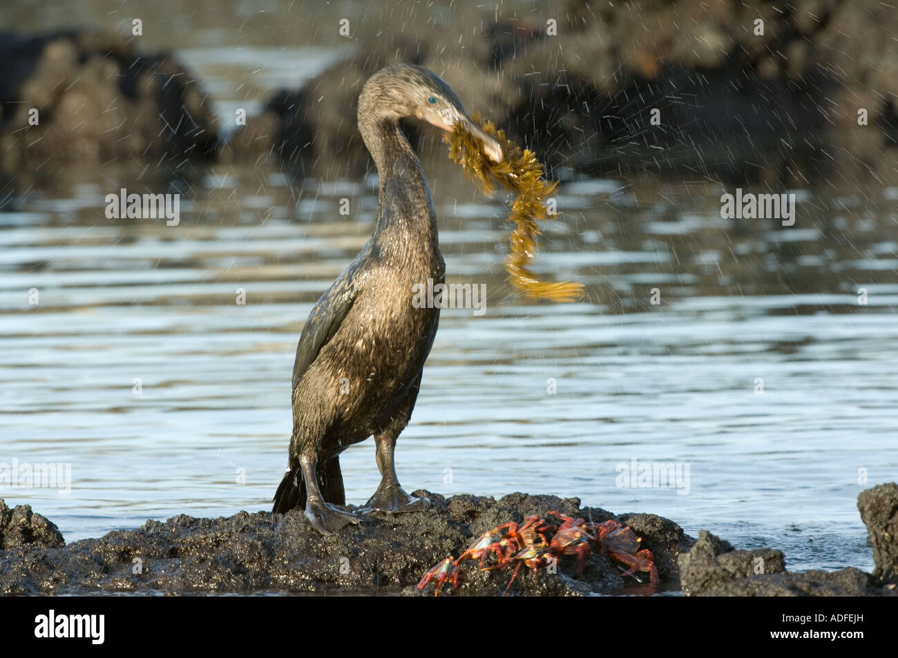 Flightless Cormorant (Nannopterum harrisi) male carrying seaweed, nest-building gifts, Punta AlbemarleIsabela Galapagos Stock Photo