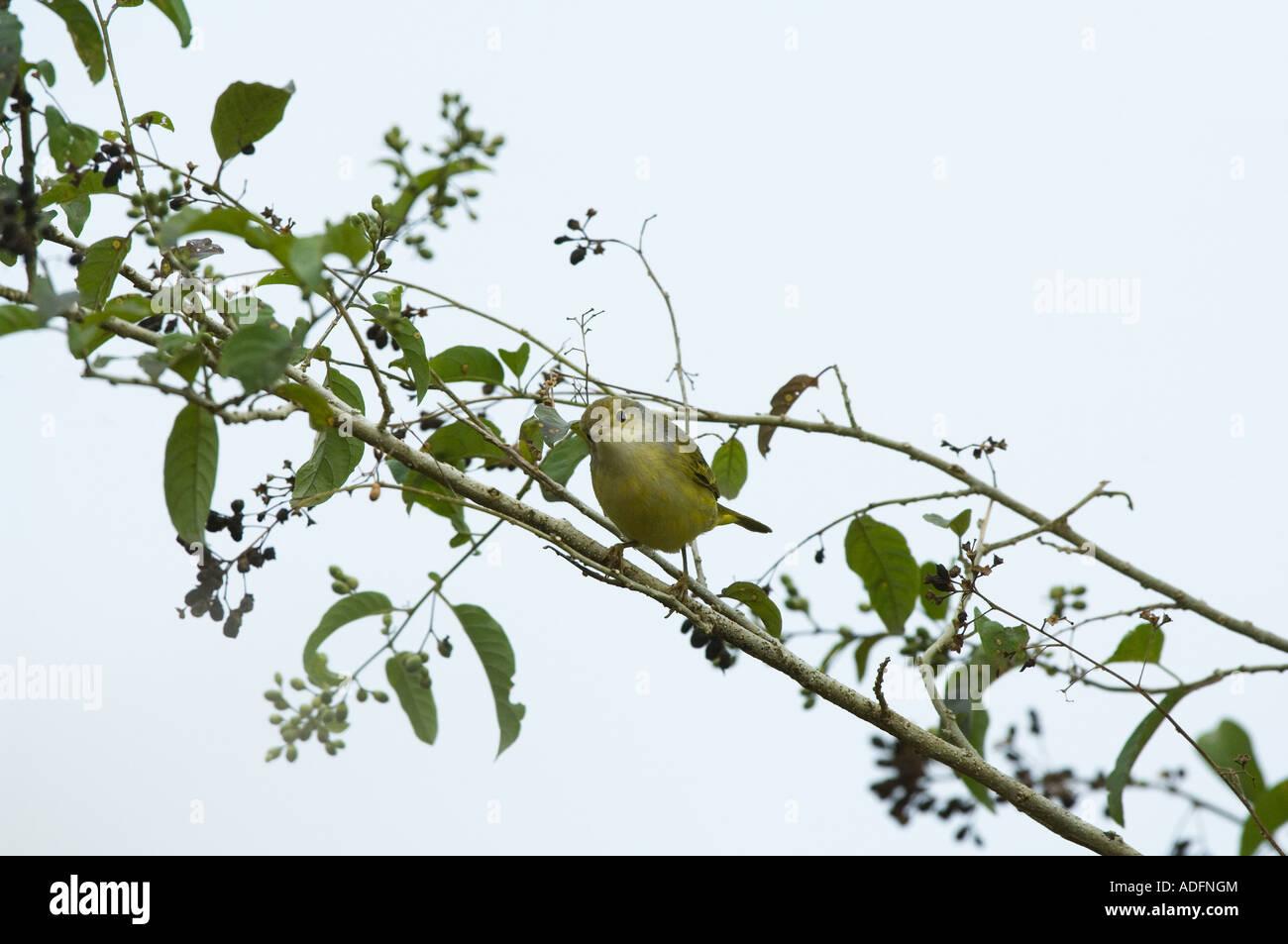 Yellow Warbler (Dendroica petechia aureola) immature perched on branch, Los Gemelos, Santa Cruz, Galapagos Ecuador - Stock Image