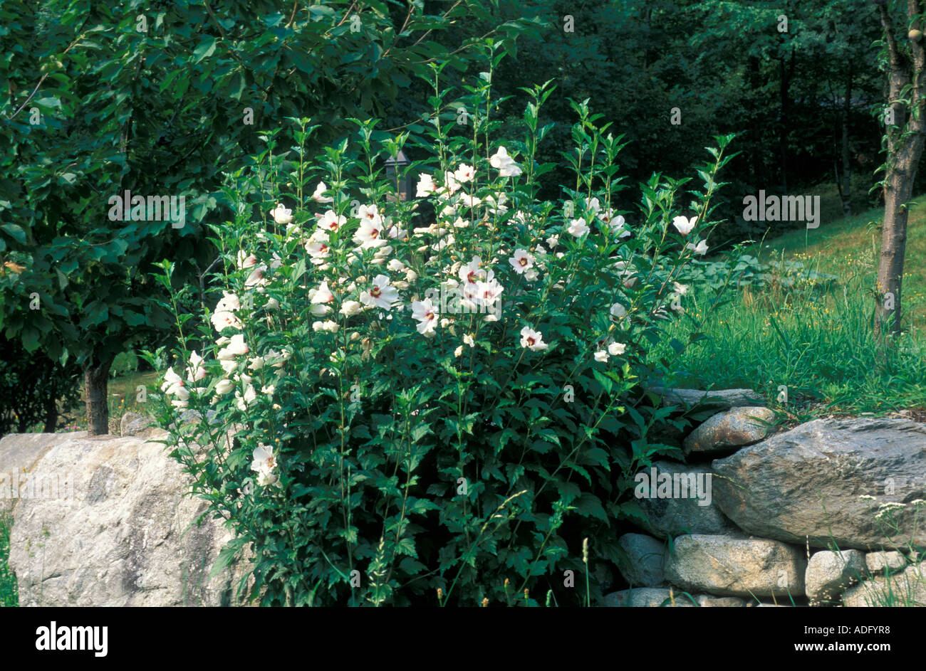 Hibiscus Syriacus Red Heart Italy Stock Photo 7662519 Alamy