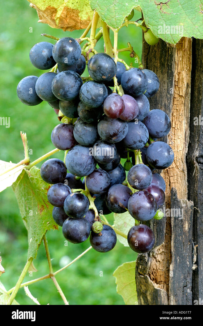 Grapes Americana Italy - Stock Image