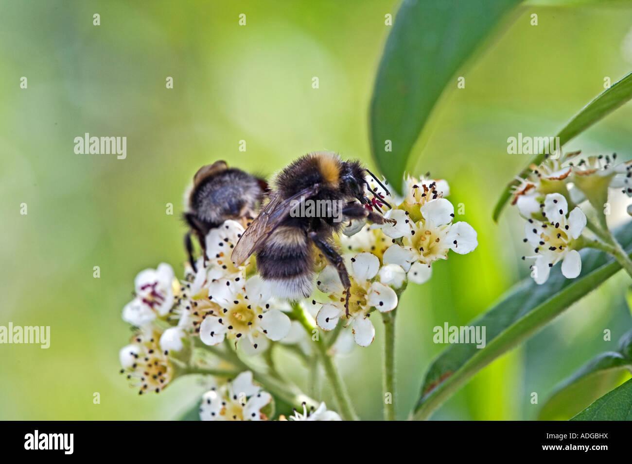 Two bumble bees gathering pollen English garden - Stock Image