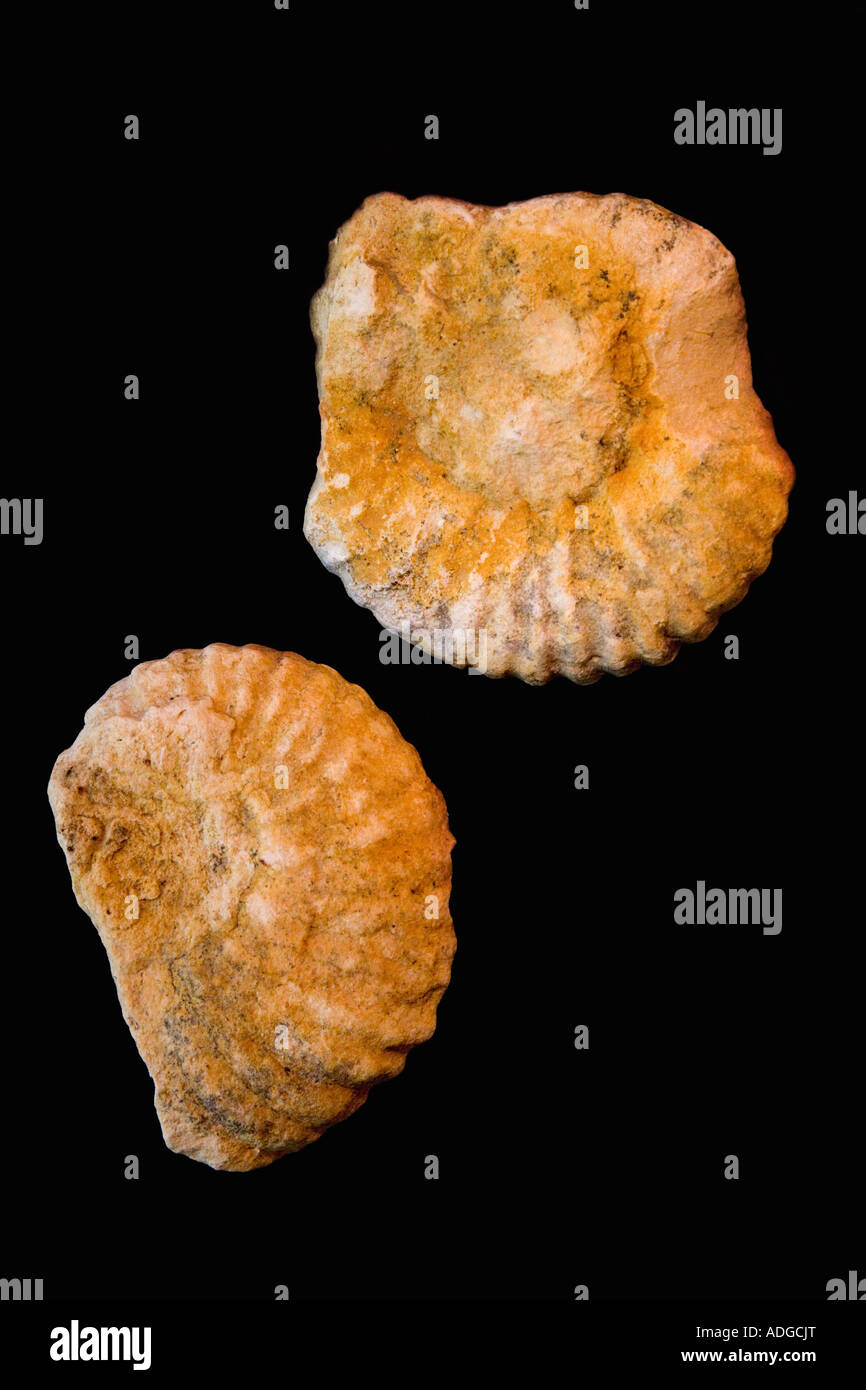 Stock Photo of Fosilised Ammonite From the Cretaceous Period Stock Photo