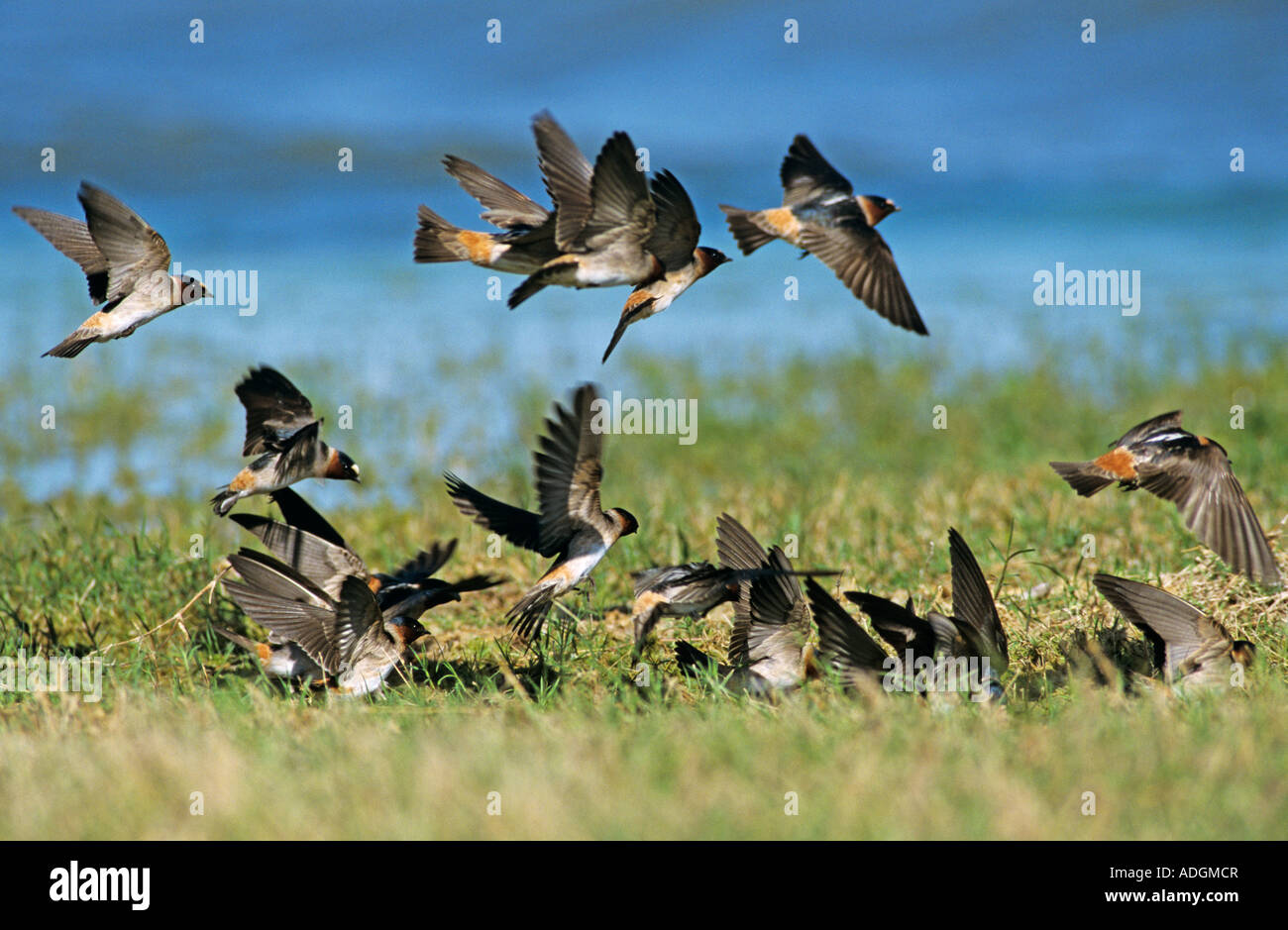 Cliff Swallow Hirundo pyrrhonota Mixed flock with Cave Swallow collecting Nesting Material Choke Canyon State Park - Stock Image