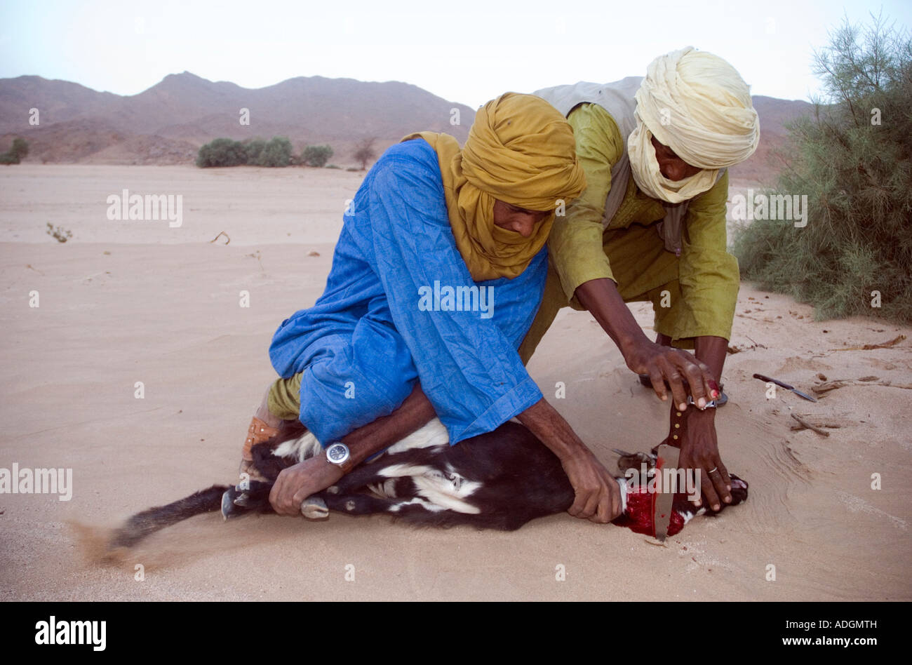Tuareg men slaughter a goat in the Halal way - according to Koran law - near their camp in a remote wadi in the - Stock Image