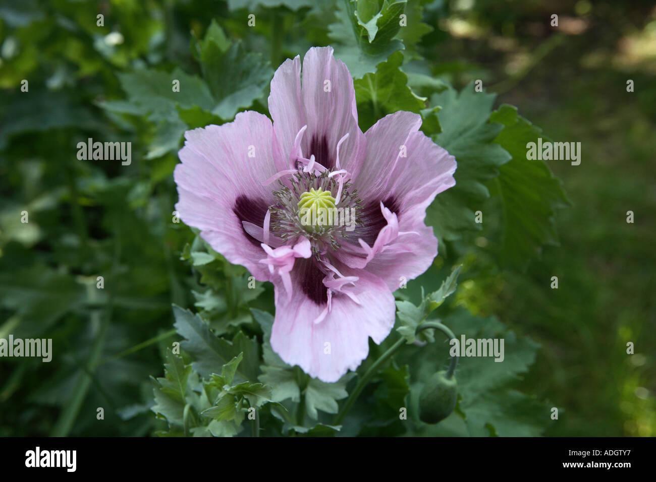 Purple Large Opium Poppies Drugs Medicine Plant Heroin Stock Photos