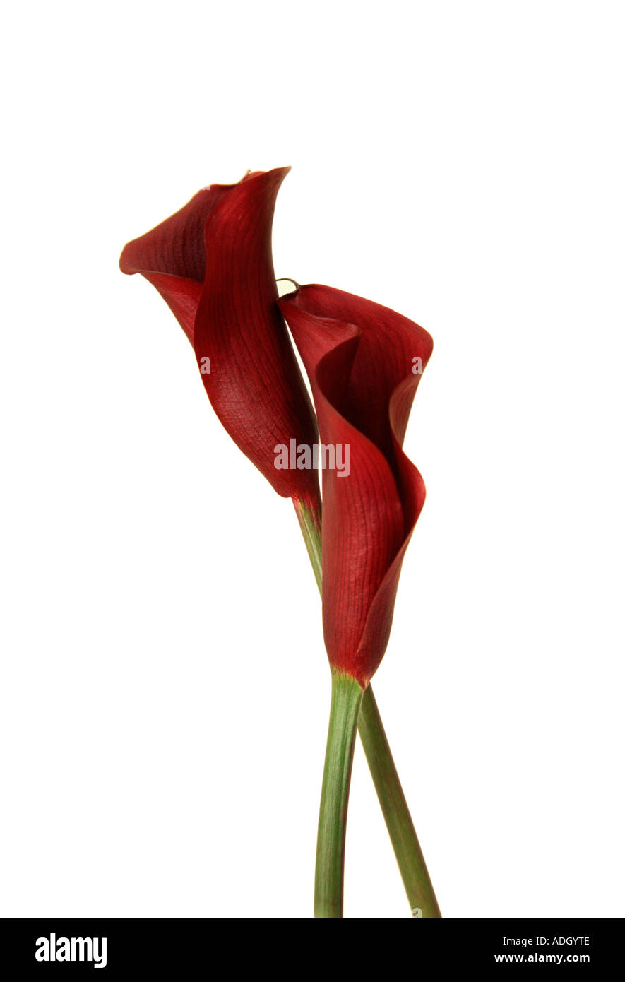 Red Flowers Calla Lilies Stock Photos Red Flowers Calla Lilies