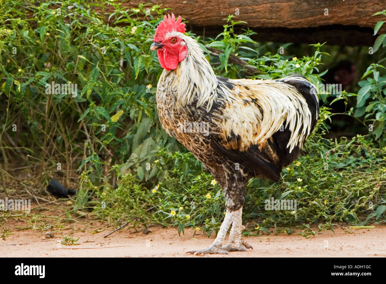 African cock picture