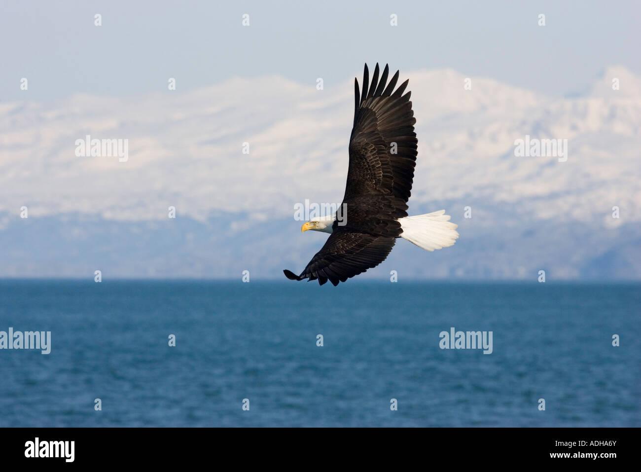 Bald Eagle Haliaeetus leucocephalus Homer ALASKA USA February Adult Accipitridae - Stock Image
