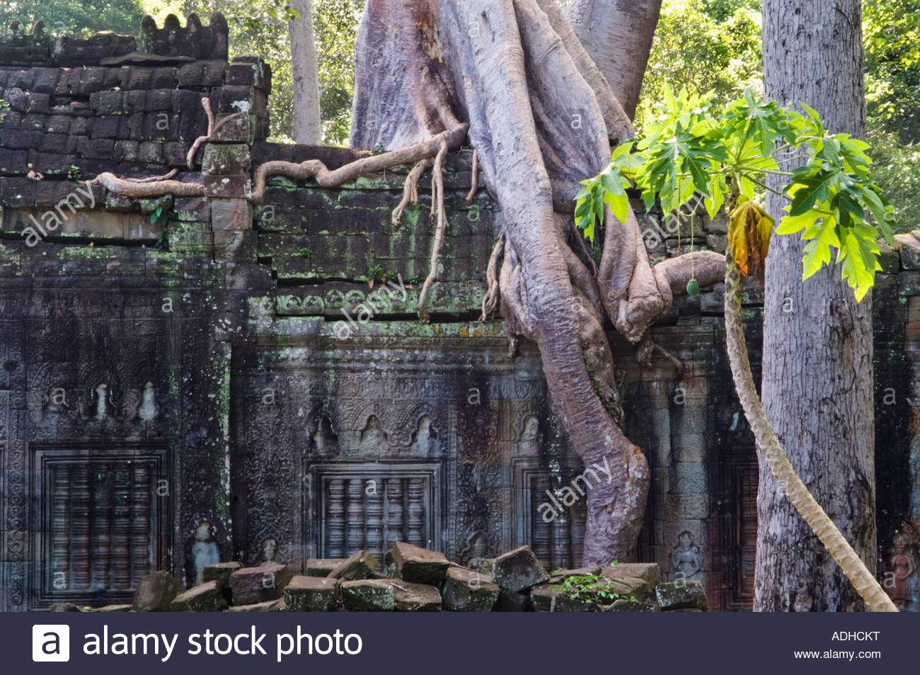 Giant tree roots covering a wall in Ta Phrom temple. Angkor, Cambodia. - Stock Image