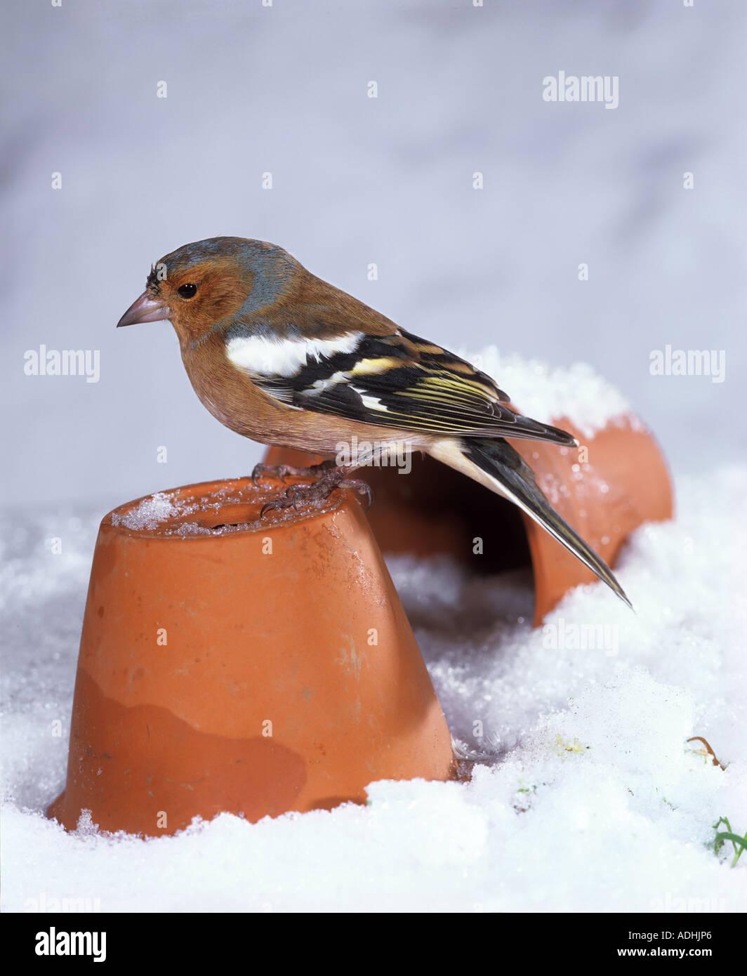 chaffinch in snow Fringilla coelebs - Stock Image