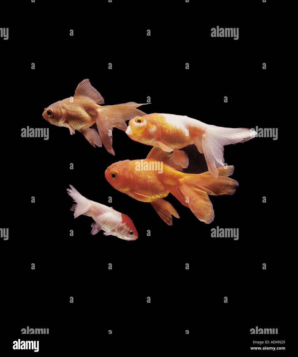 Variety of fancy goldfish orandas and water bubbli Carassius