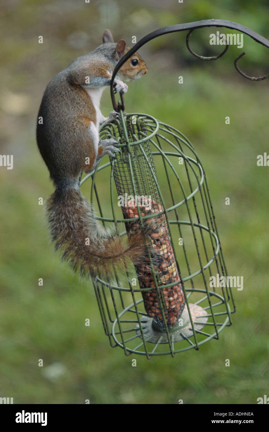 stuck a image results bird feeder proof inside squirrel tags search stock picfair grey images