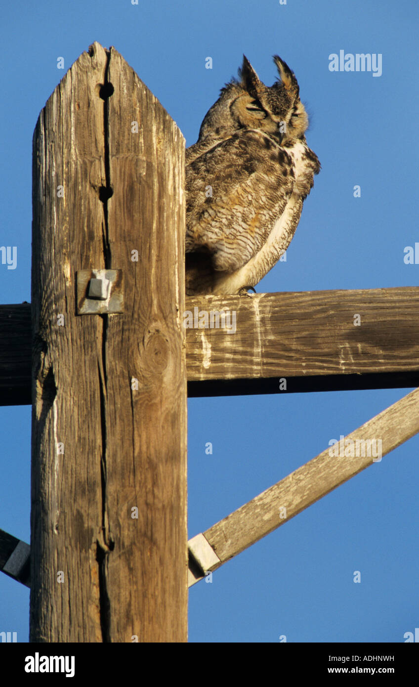 Great Horned Owl Bubo virginianus adult roosting on telephone post Starr County Rio Grande Valley Texas USA March Stock Photo