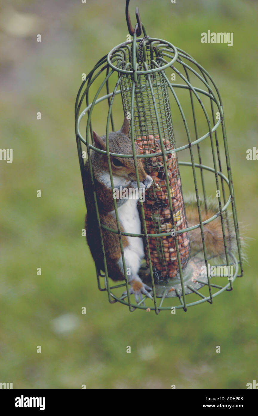 royalty photos wild bird pest feeder proof squirrel of stock squirrels photo image invading free feeders