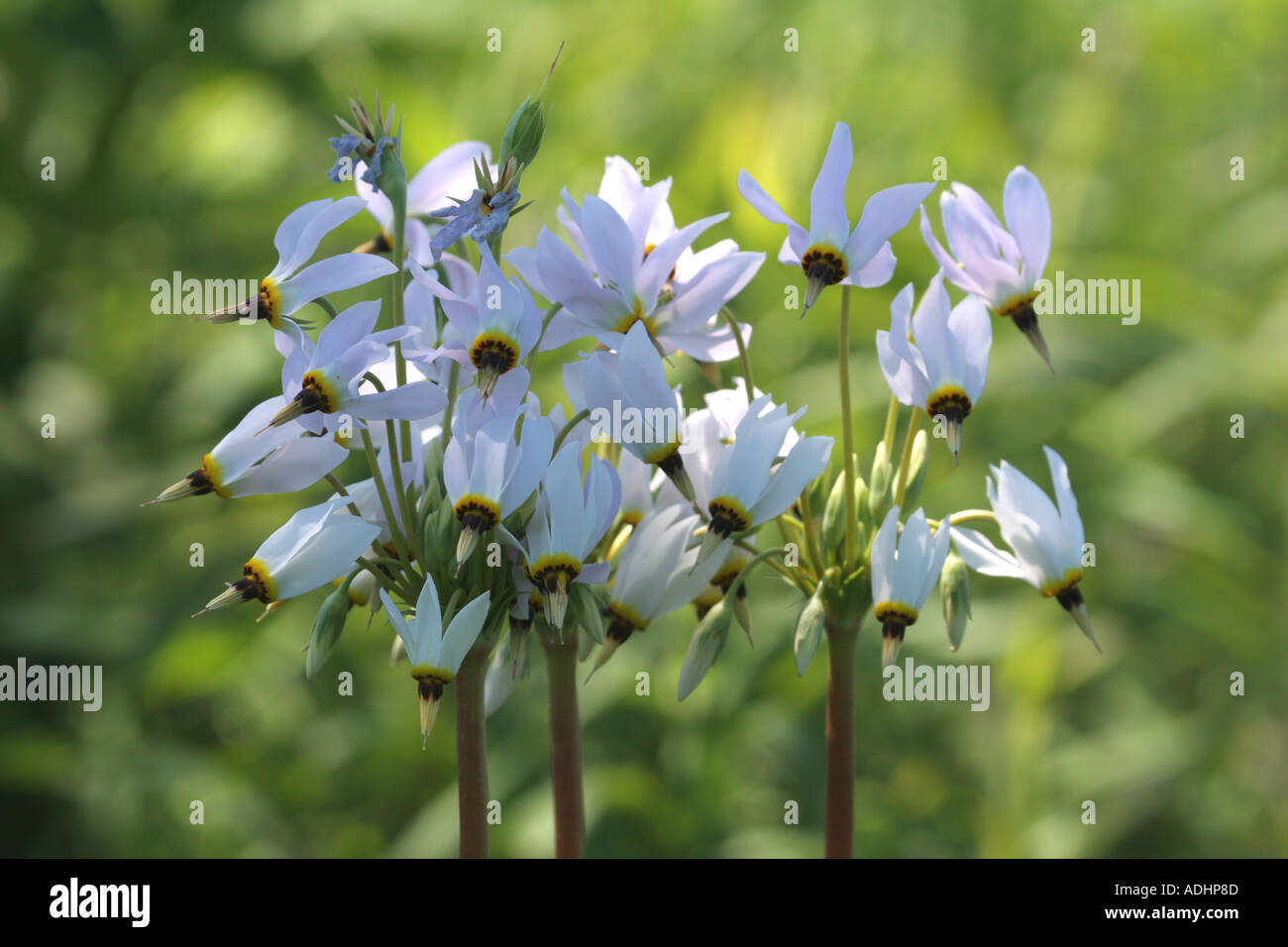 shooting star dodecatheon meadia prairie flower midwest northern illinois spring may flora wild photography photo photo - Stock Image