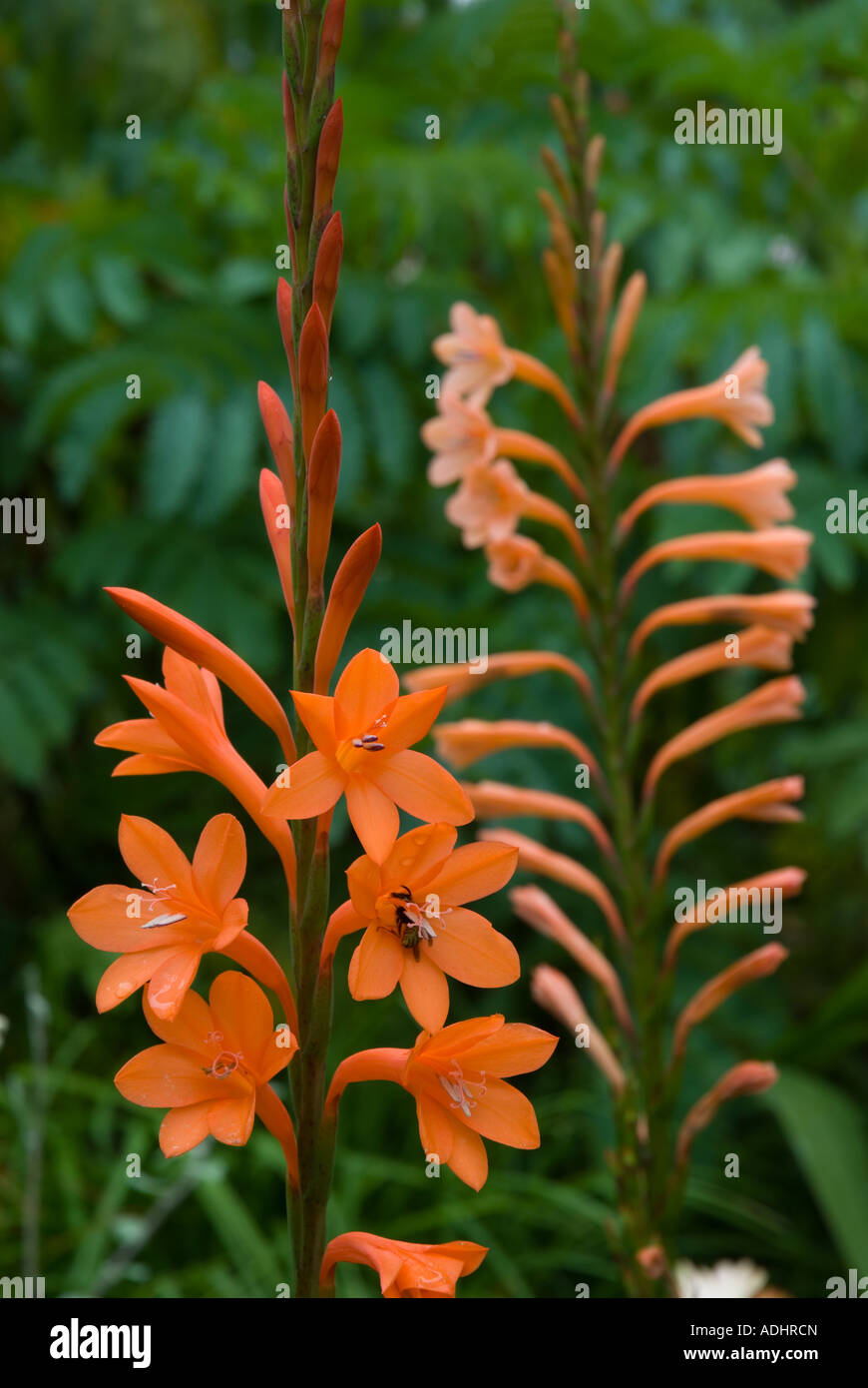 Page 10   Watsonia Plant High Resolution Stock Photography and ...