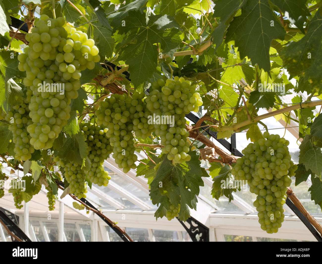 Grapes growing in the fully restored Victorian vinerey cafe restaurant in Helmsley North Yorkshire Stock Photo
