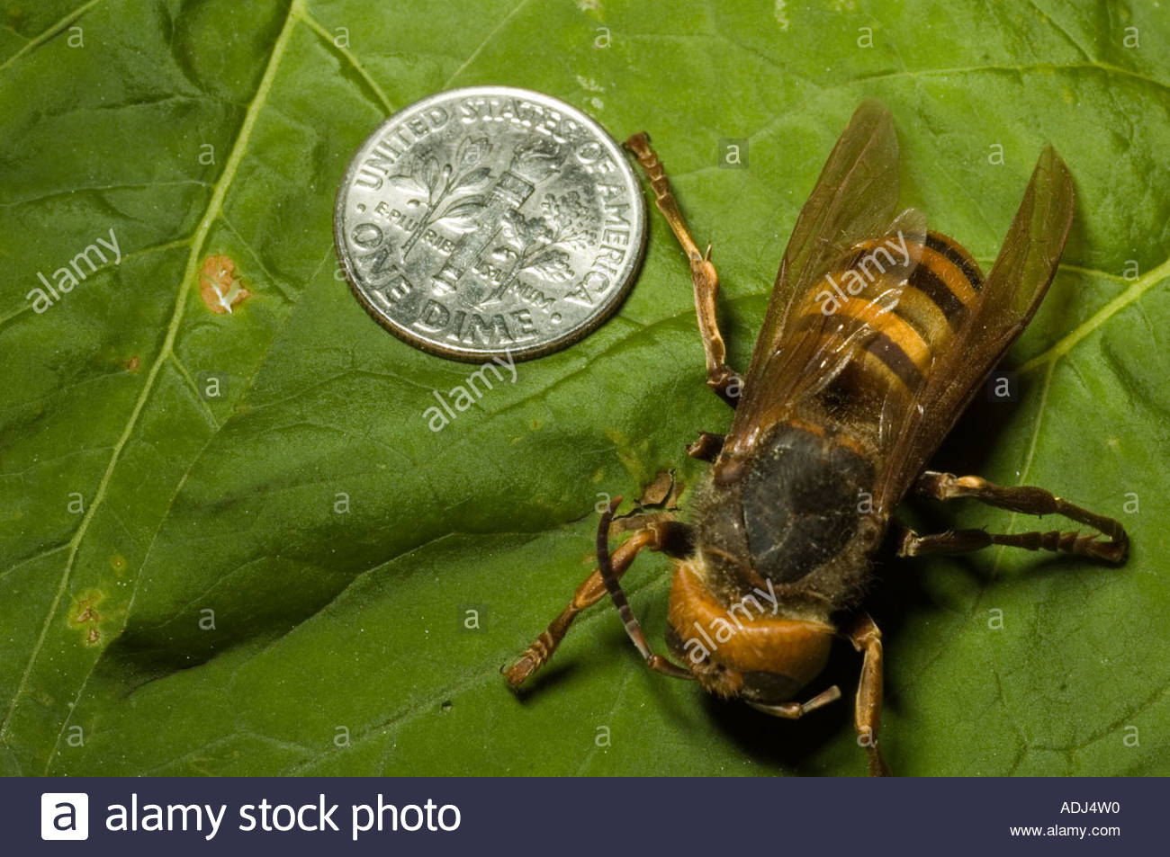 Asian giant hornet Vespa mandarinia