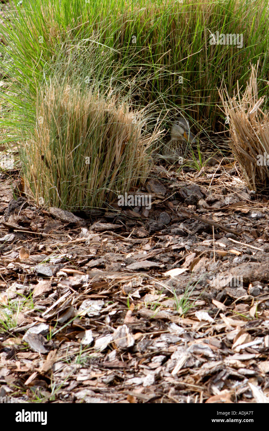 hidden-duck-eggs-in-tall-grass-ADJA7T.jp