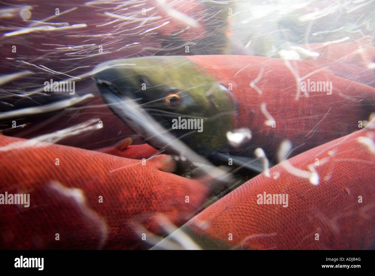 Close up underwater shot of Sockeye Red Salmon in spawning phase Bear Creek Seward Alaska Kenai Peninsula summer - Stock Image