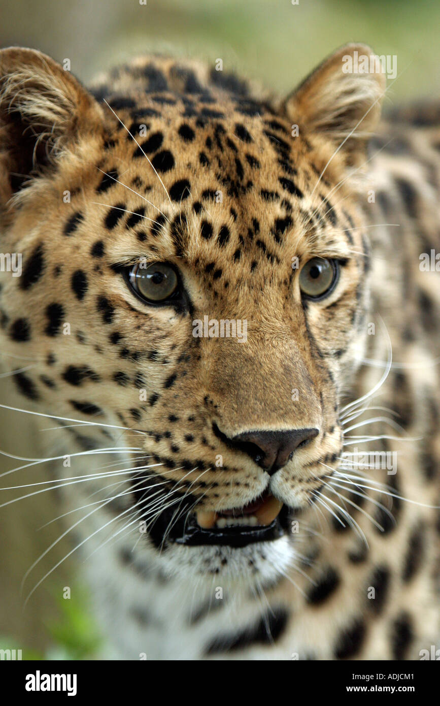 Amur leopard head. Marwell Zoo, Hampshire, England - Stock Image