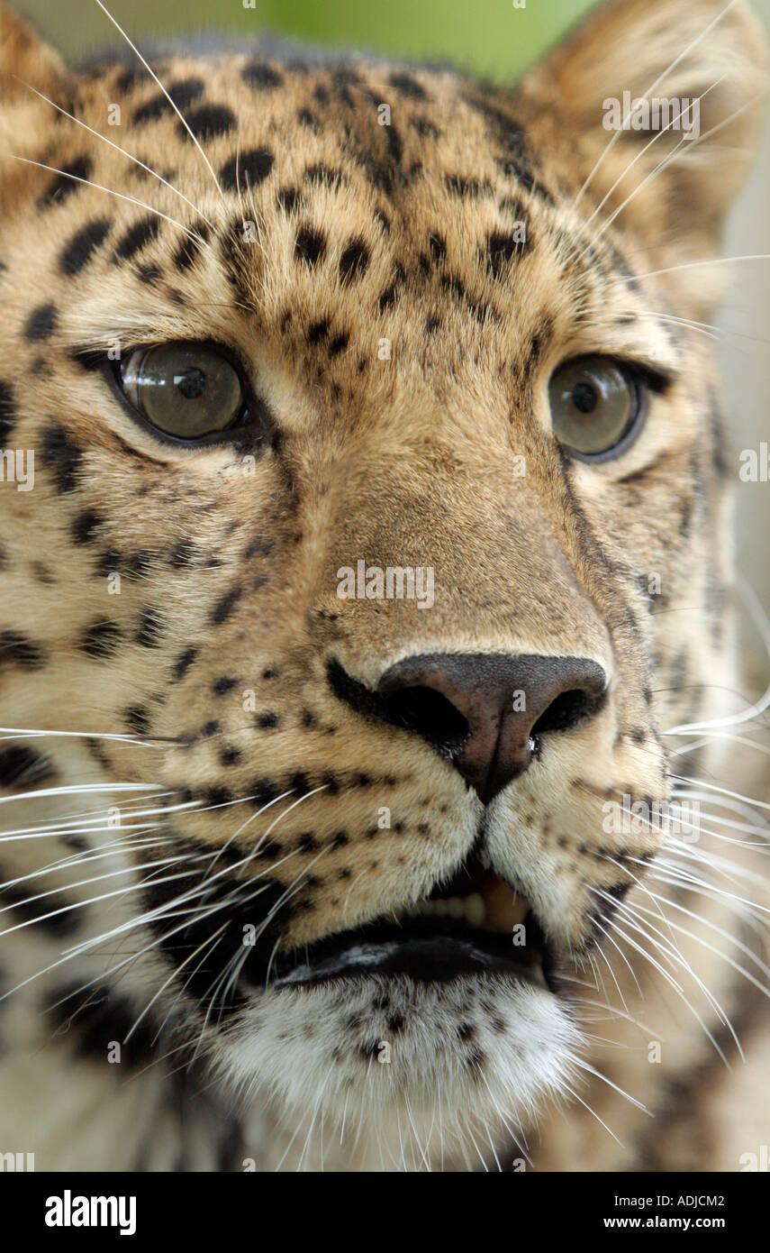 Amur leopard head. Marwell Zoo, Hampshire, England - Stock Image