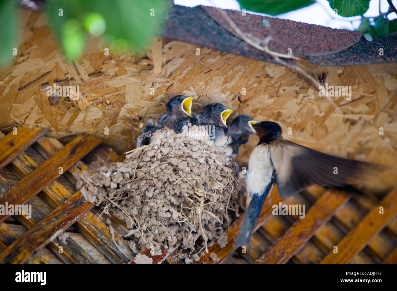 Hungry fledgling swallows being fed in relays 'Didim', 'Turkey' - Stock Image