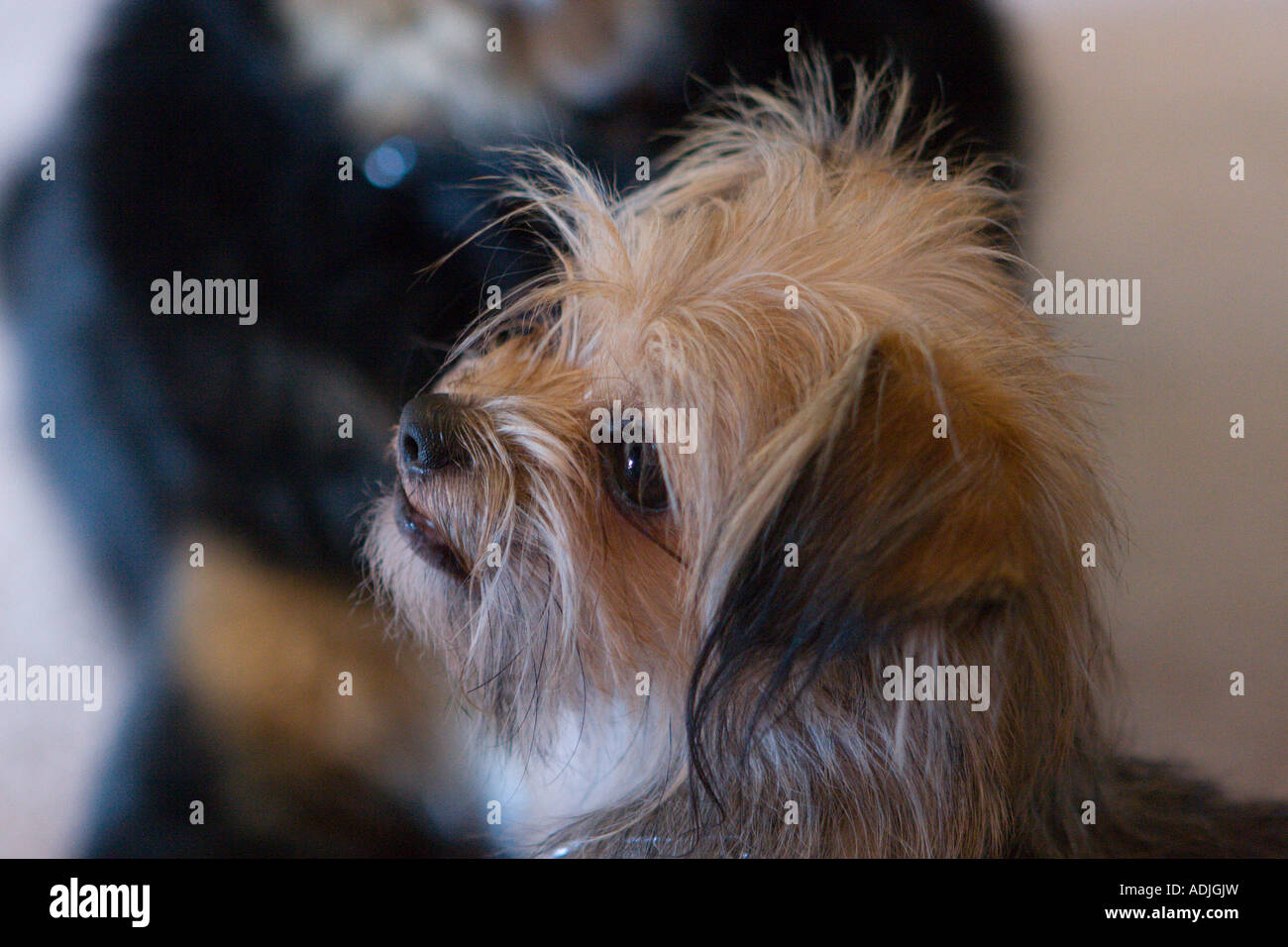 Jack Russell Shih Tzu Mix Puppy Looking Stock Photo 13433952 Alamy
