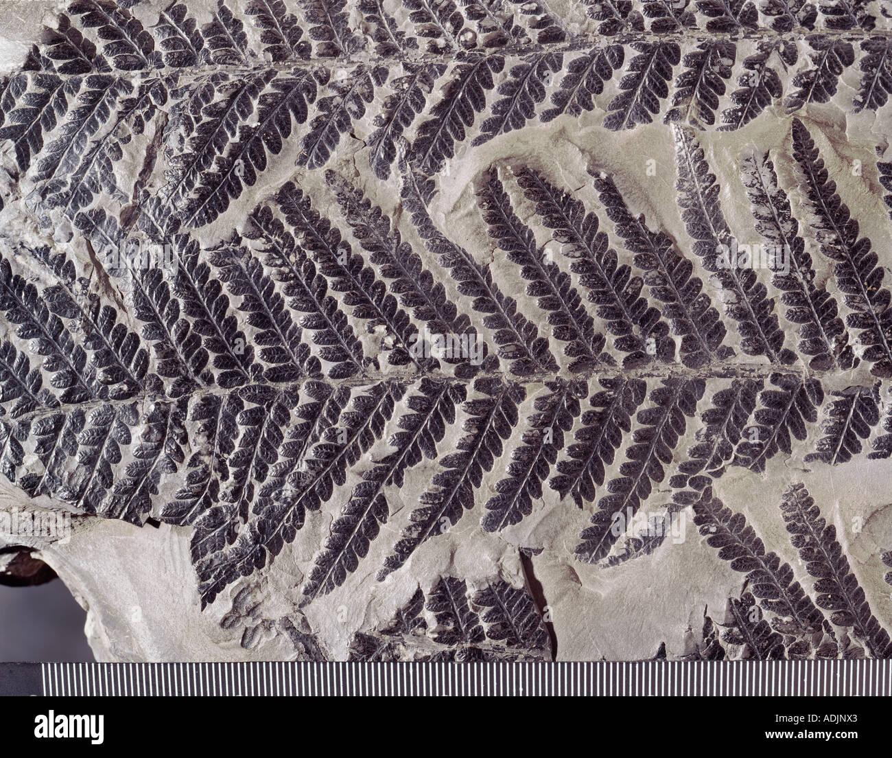 Dactylotheca fossil fern - Stock Image