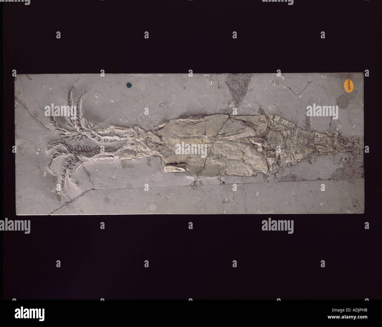 Belemnotheutis antiquus squid - Stock Image