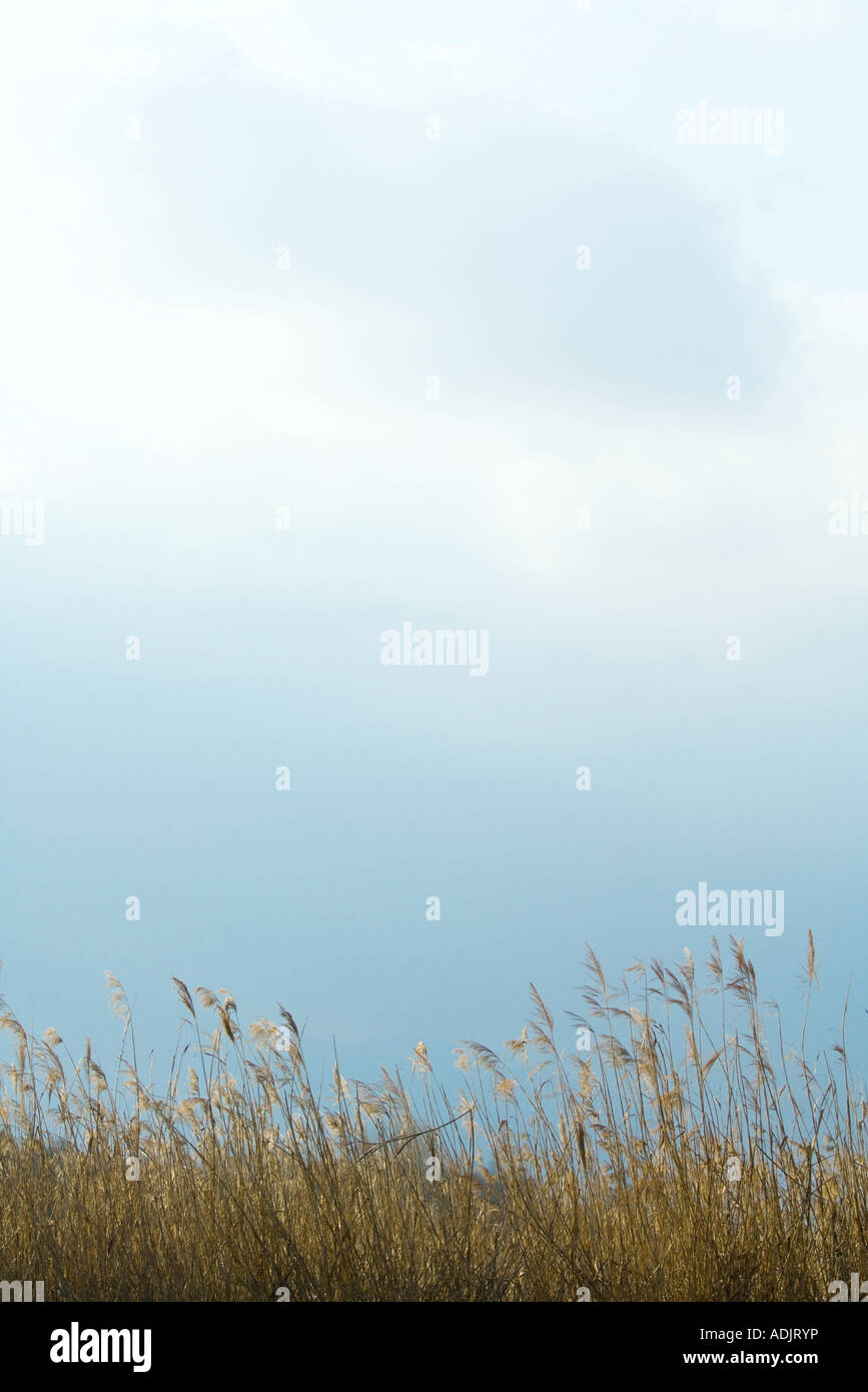 Tall grasses and cloudy sky - Stock Image