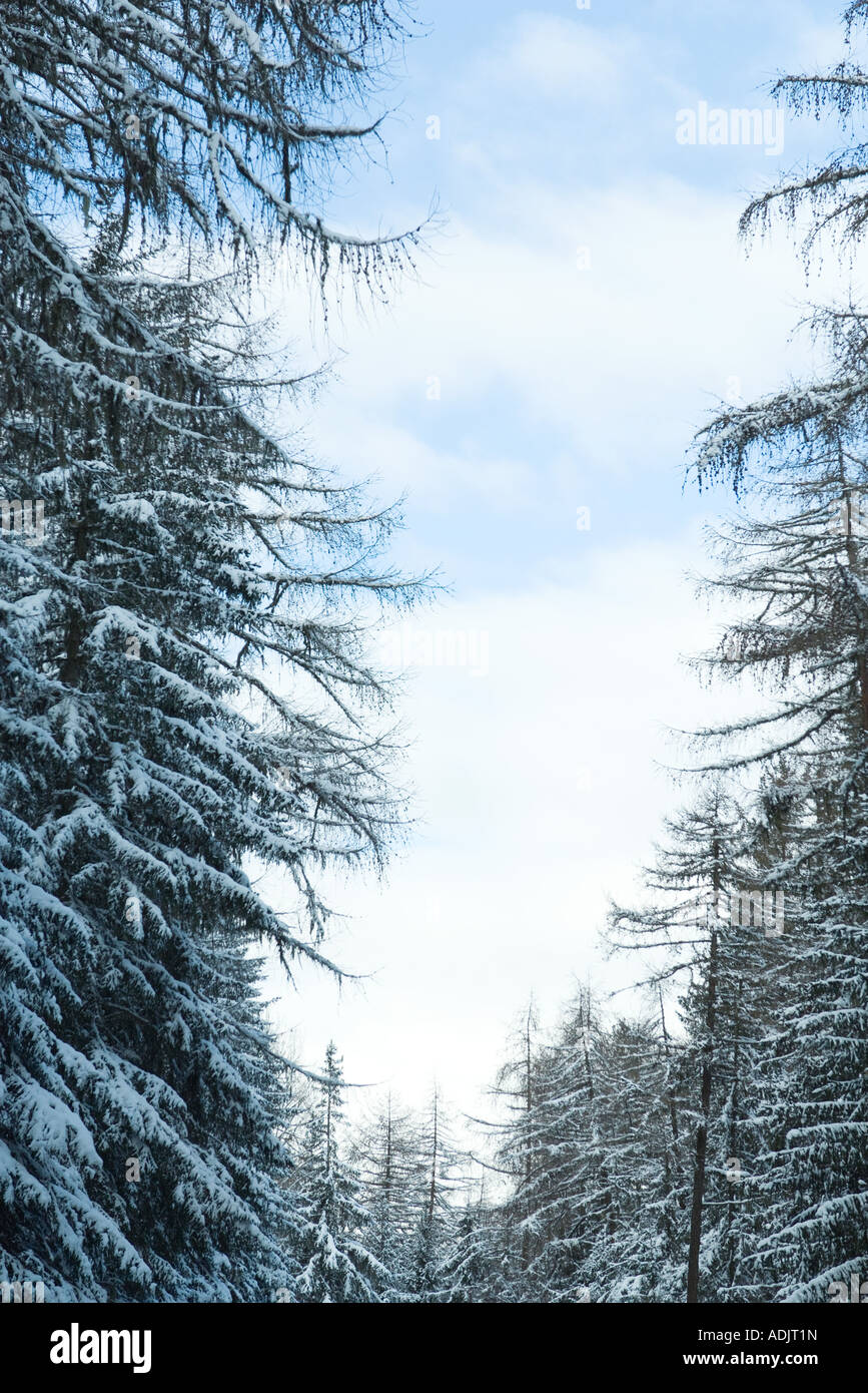 Snow-covered forest of evergreens - Stock Image