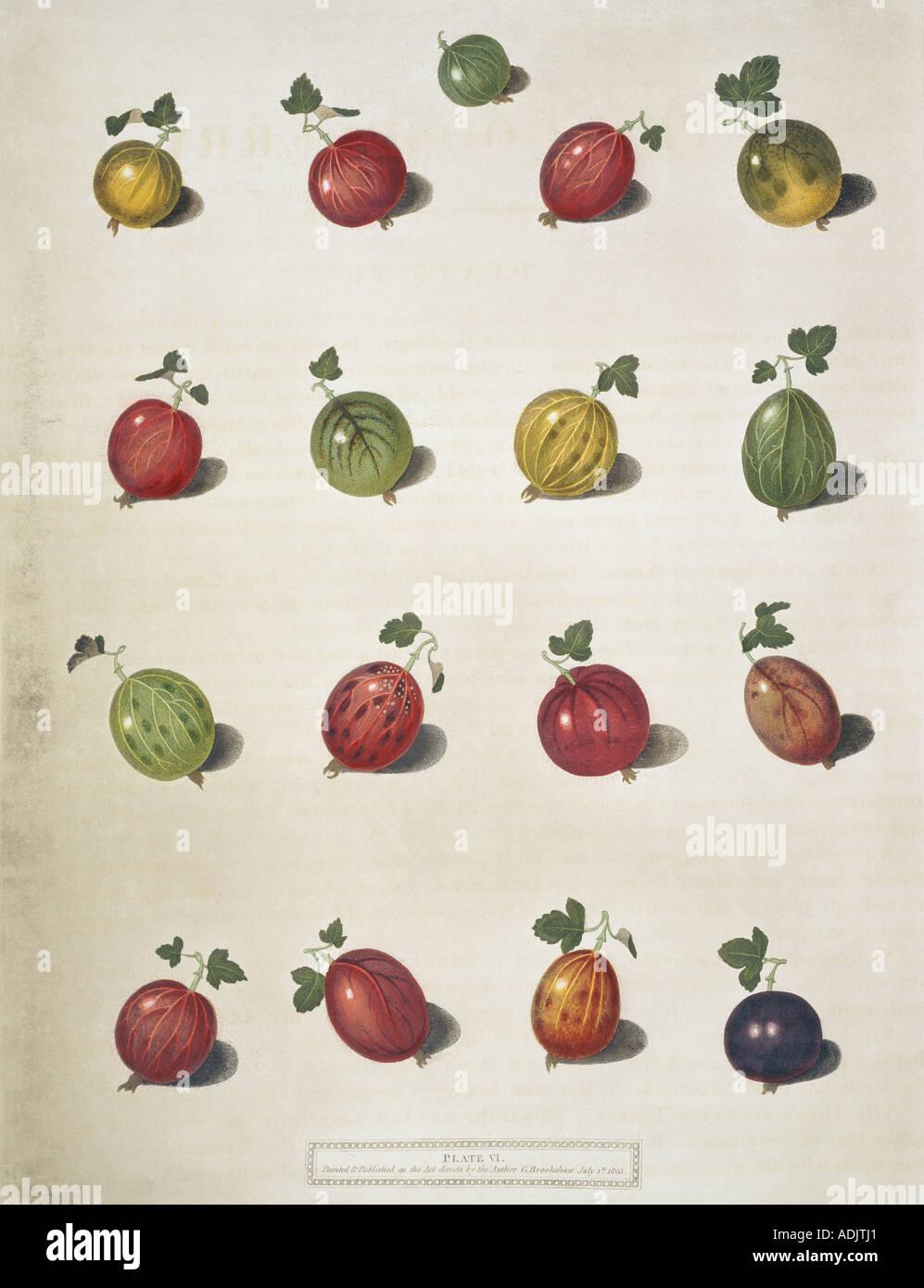 Sixteen varieties of gooseberries - Stock Image