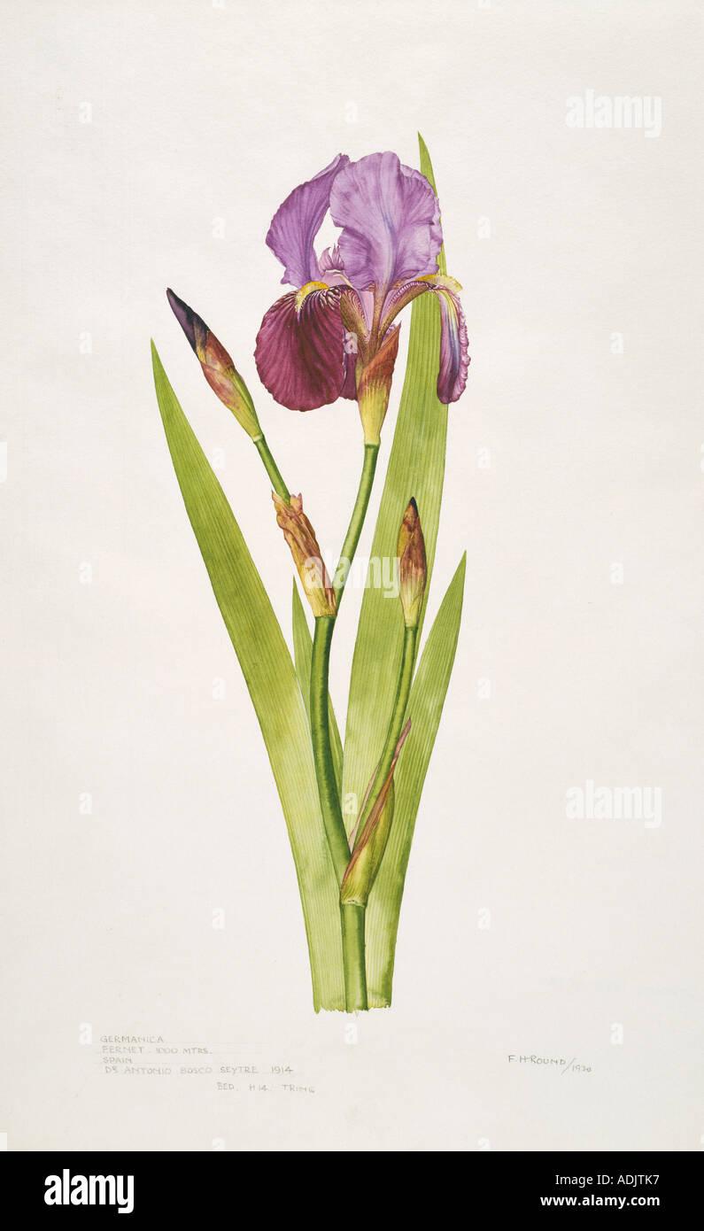 Iris germanica bearded iris - Stock Image