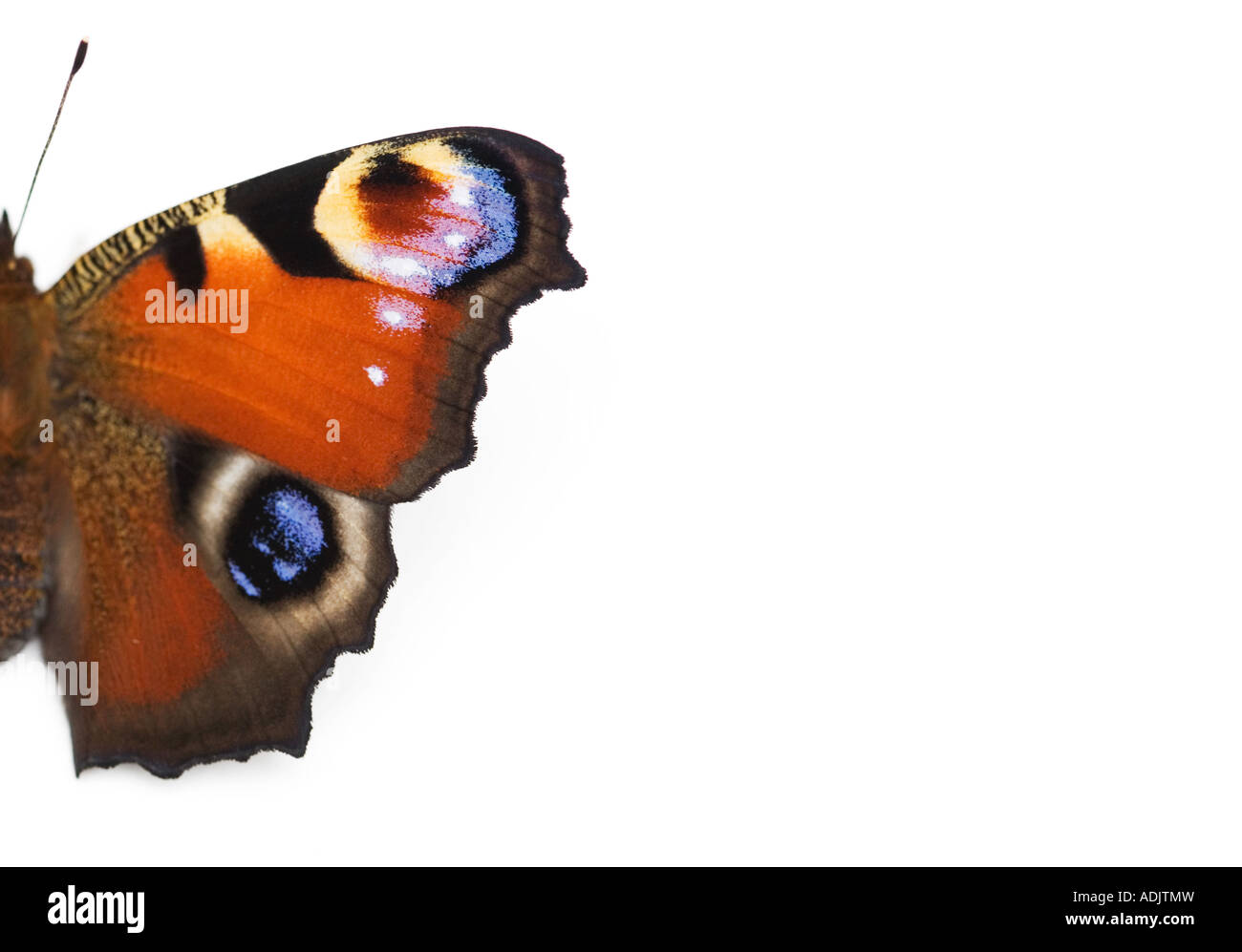 Inachis io. Peacock butterfly on white background - Stock Image