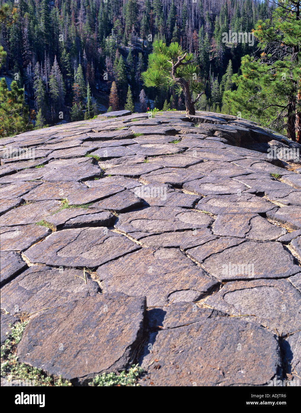 Glaciated tops of jointed columns and tree at Devils Postpile National Monument California - Stock Image