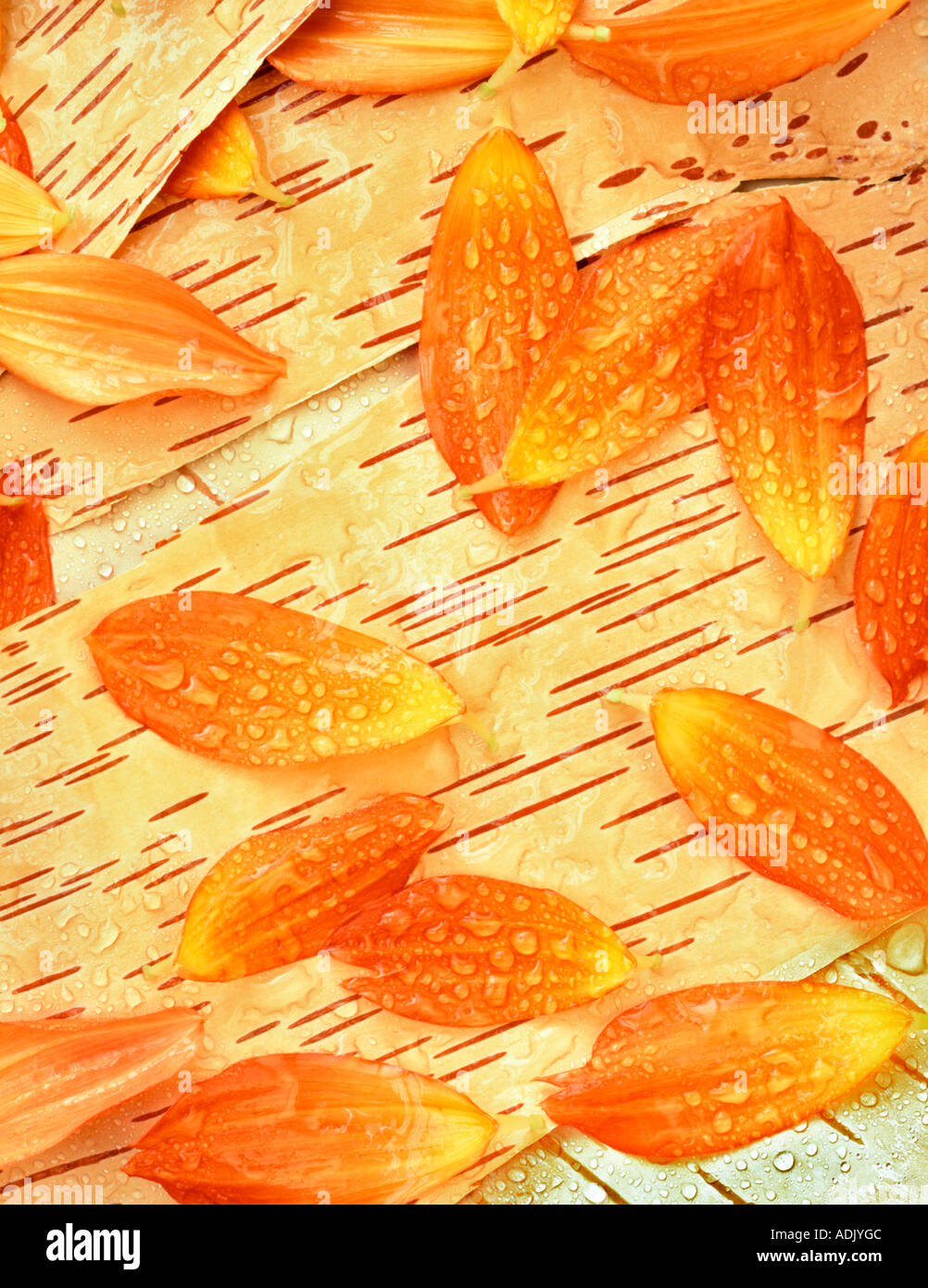 Dahlia flower petals with rain drops on bark of white birch tree Oregon - Stock Image