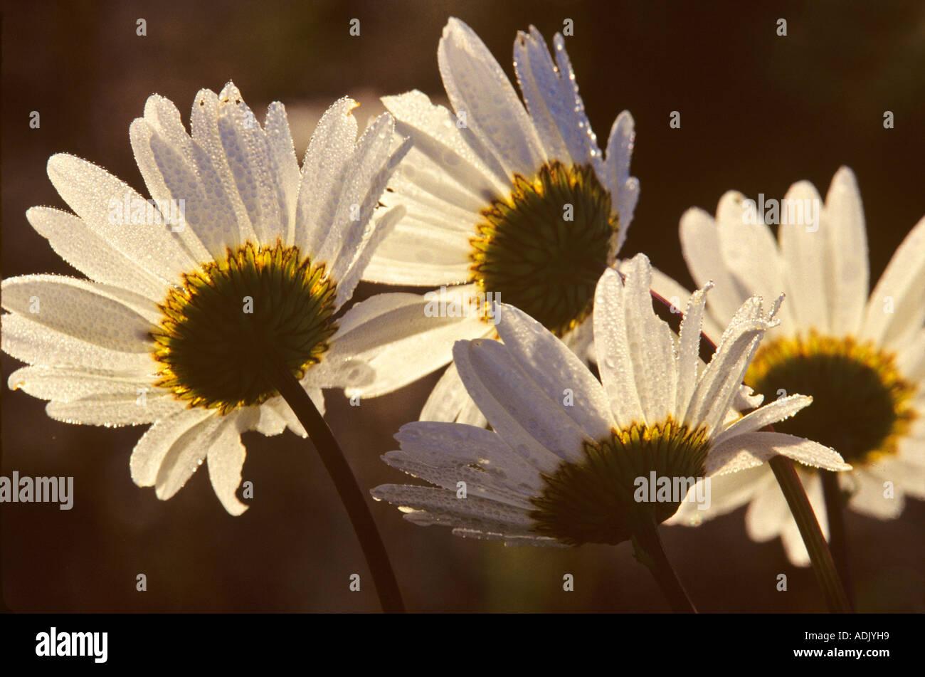 Wild daisies Near Monroe Oregon - Stock Image