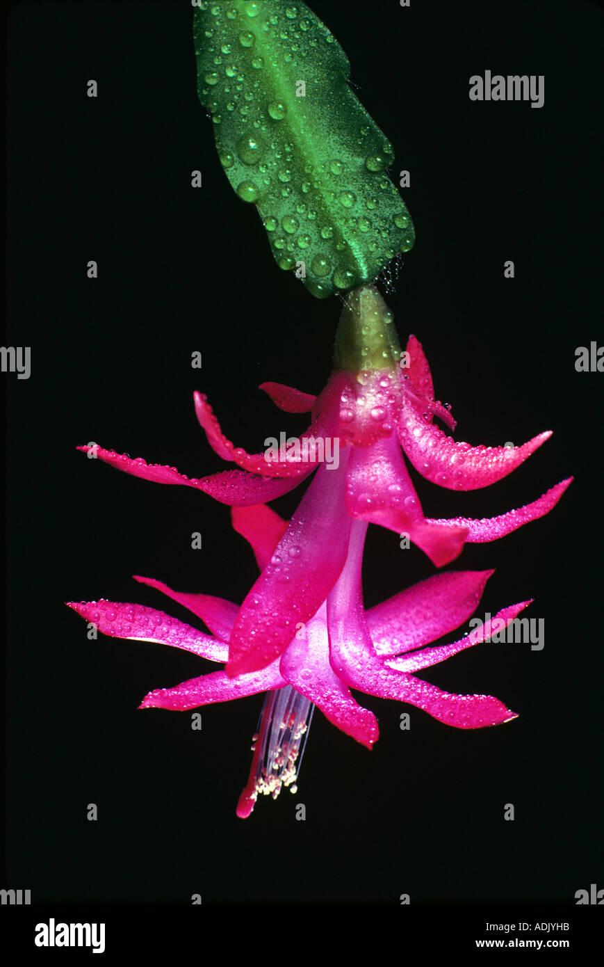 Christmas Cactus - Stock Image