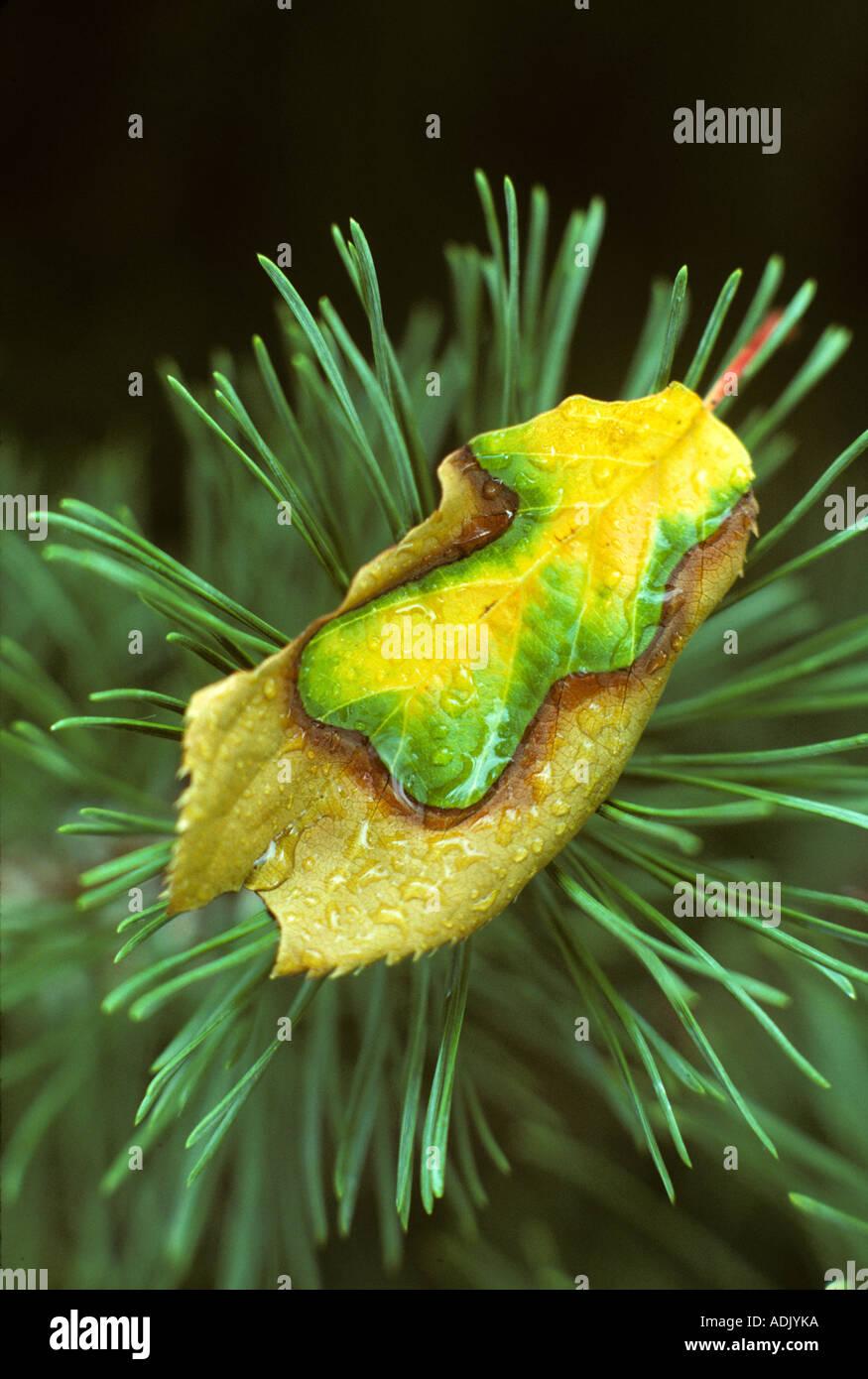 Flowering cherry leaf on Mugo pine branch Monroe Oregon - Stock Image