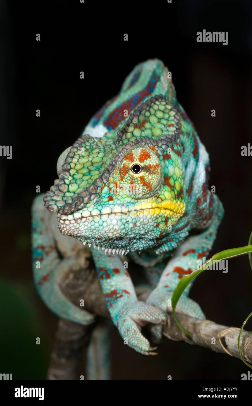 Panther Chameleon (Furcifer pardalis) male, Ankarana National Park, Madagascar - Stock Image