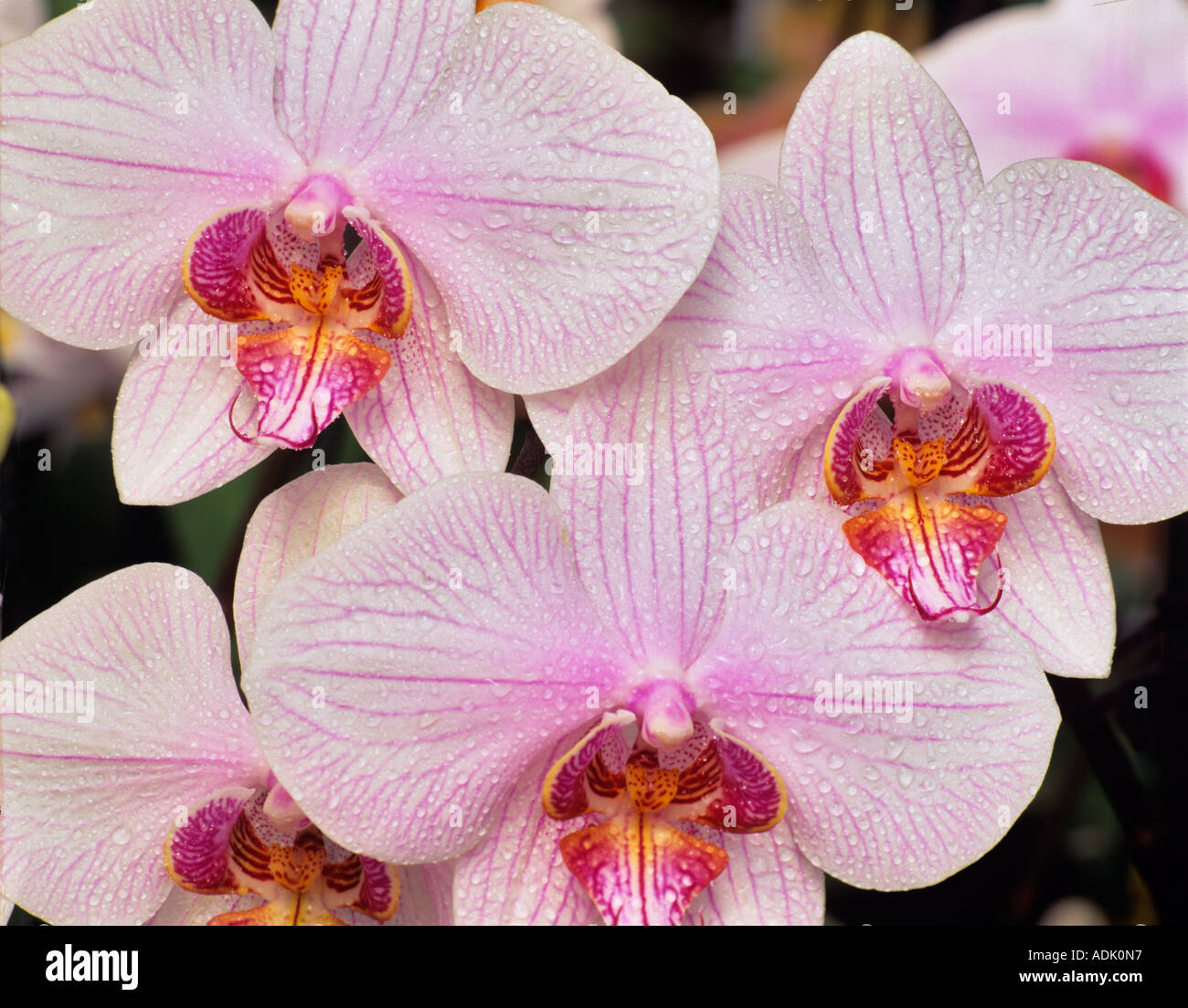 Orchid Dtps Rainbow Falls X Phal Melcocha With mist - Stock Image