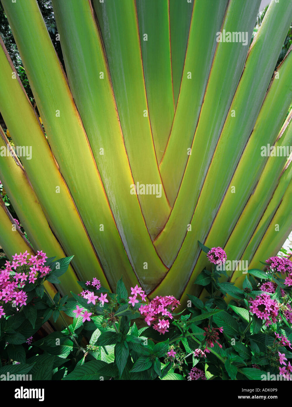 Traveller s tree ravenala madagascariensis with purple flowers Maui Hawaii - Stock Image