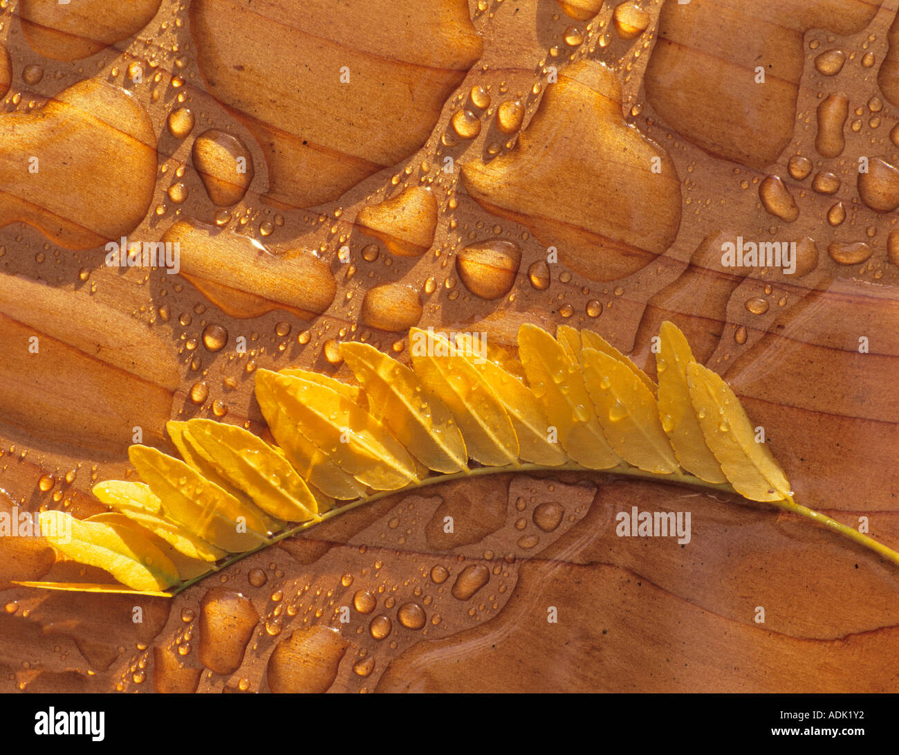 Rain puddles on cedar deck with locust leaves in fall color Alpine Oregon - Stock Image