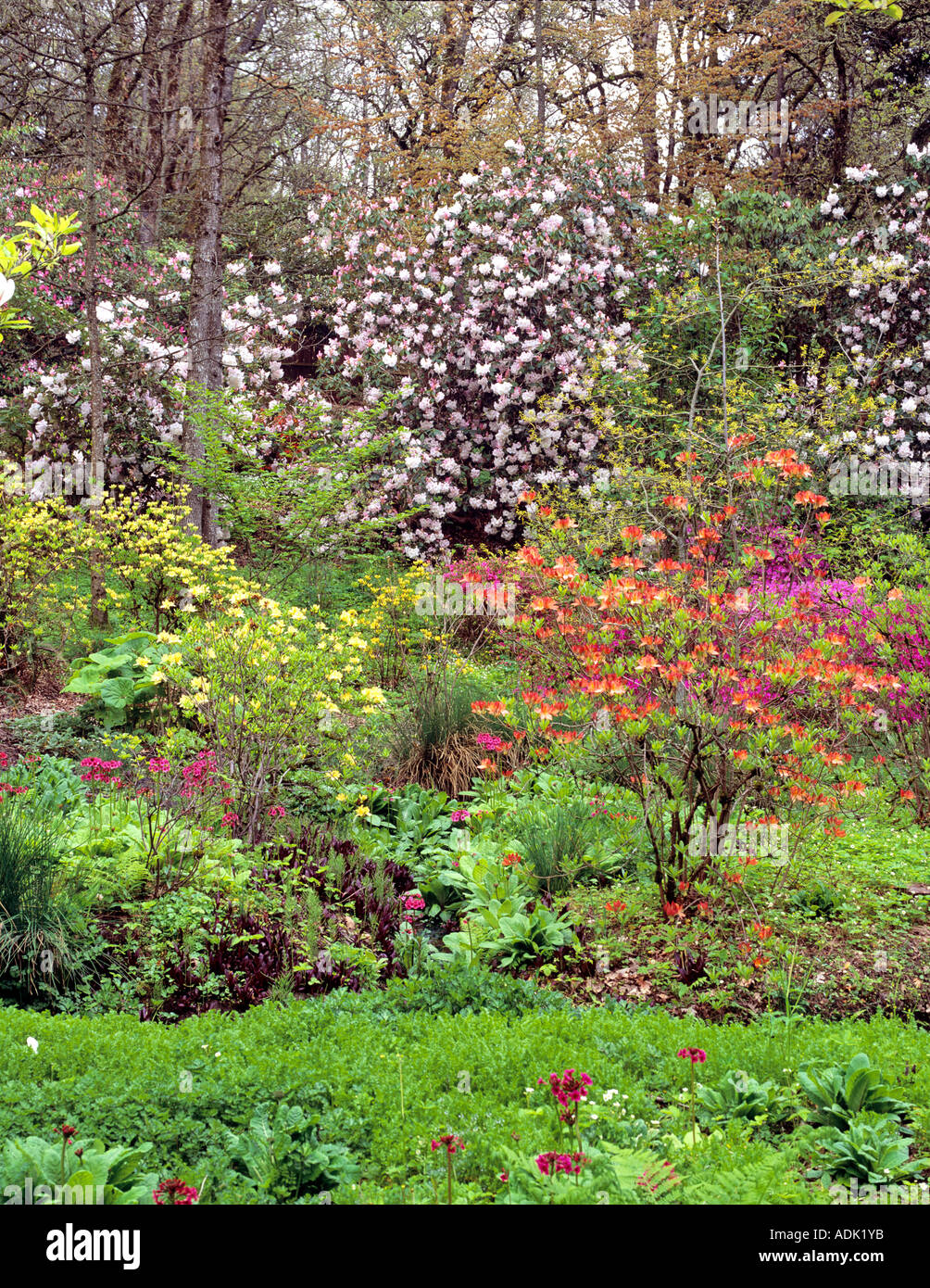 Garden with blooming rhododendrons at Hendricks Park Eugene Oregon - Stock Image
